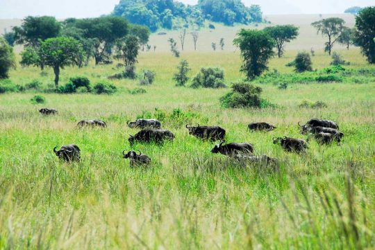 15154122 - herd of kaffir buffaloes, kidepo valley national park, uganda
