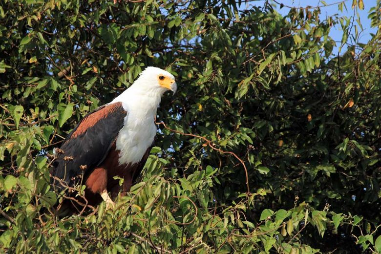 African Fish Eagle (Haliaeetus vocifer) in a Tree. Lake Mburo, Uganda