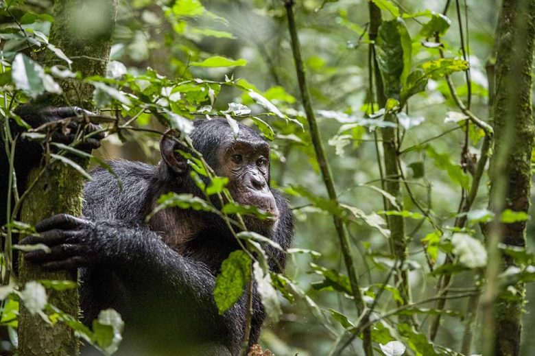 Close up portrait of chimpanzee ( Pan troglodytes ) resting in the jungle. Natural habitat. Kibale forest in Uganda