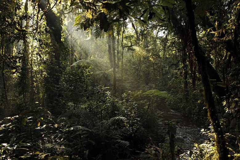 Sunrays Breaking through the Leaves of Bwindi Impenterable National Park, Uganda