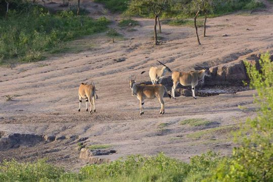 Common Eland at a Watering Hole in Lake Mburo National park