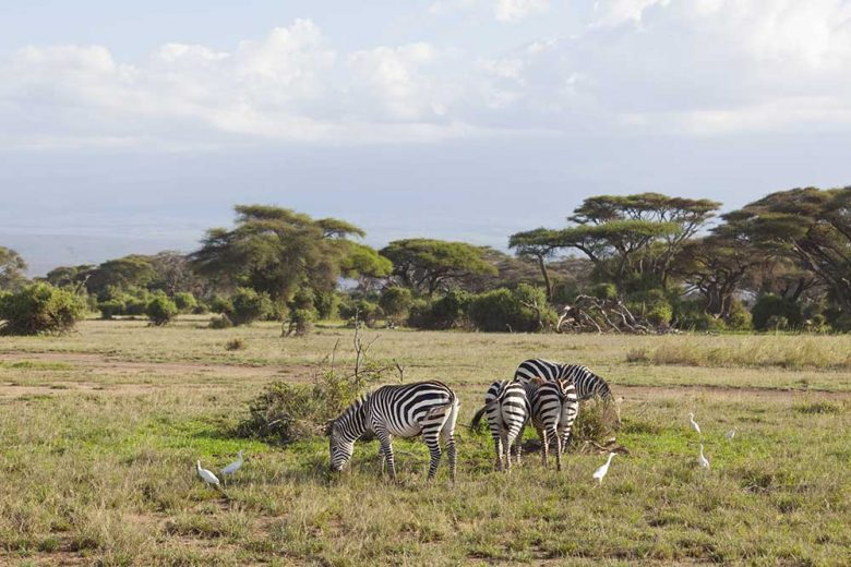 Zebras in Amboseli National Park in Kenya.