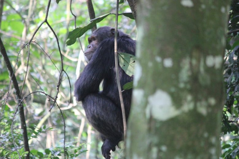 Chimp Tracking in Kalinzu