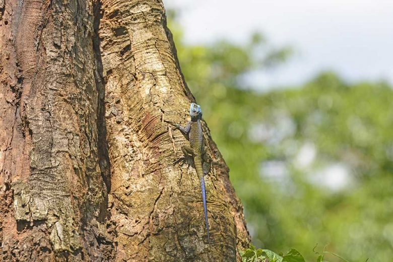Rainbow Lizard on a Tropical Tree in Uganda
