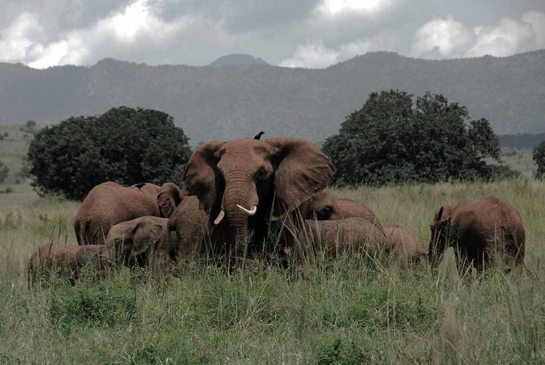 11979957 - herd of elephants, kidepo valley national park (uganda)